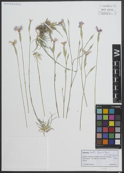 Dianthus broteri Boiss. & Reut.