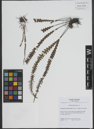 Ctenopteris blechnoides (Grev.) W. H. Wagner & Grether