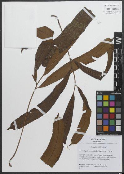 Lomariopsis oleandrifolia (Brack.) Mett. ex Kuhn