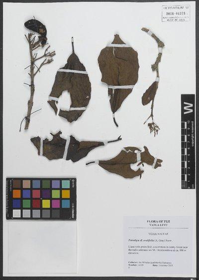 Oxera amicorum (Seem.) Gâteblé & Barrabé