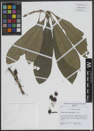 Pittosporum rhytidocarpum A. Gray