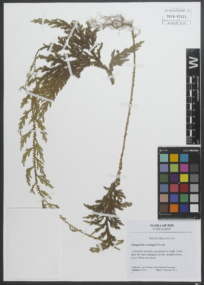 Selaginella rechingeri Hieron.