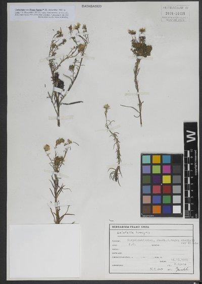 Galatella linosyris (L.) Rchb. f.
