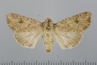 Discestra trifolii