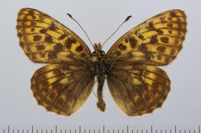 ?Clossiana thore ssp. borealis