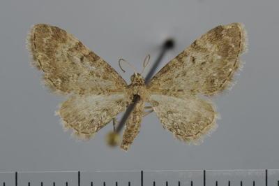 Eupithecia denotata