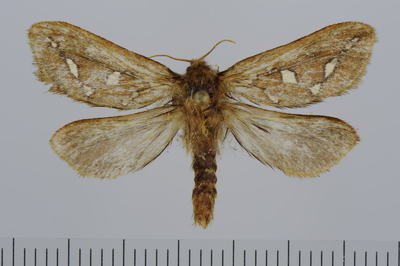 Hepiolus ganna