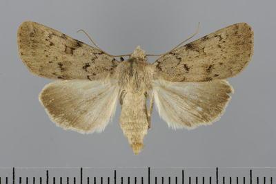 Rhyacia grisescens