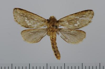 Hepiolus lupulinus