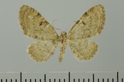 Eupithecia trisignaria