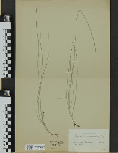 Equisetum ramosissimum ssp. ramosissimum