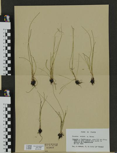 Isoetes velata ssp. velata