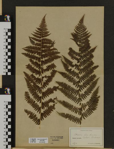Athyrium filix-femina ssp. indet.