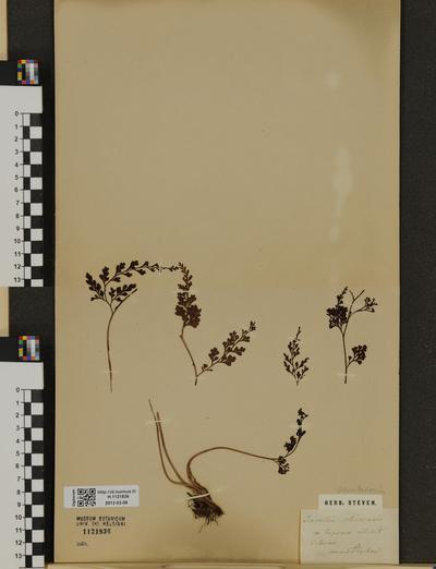 Odontosoria chinensis
