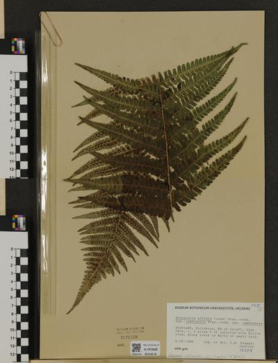 Dryopteris affinis ssp. cambrensis
