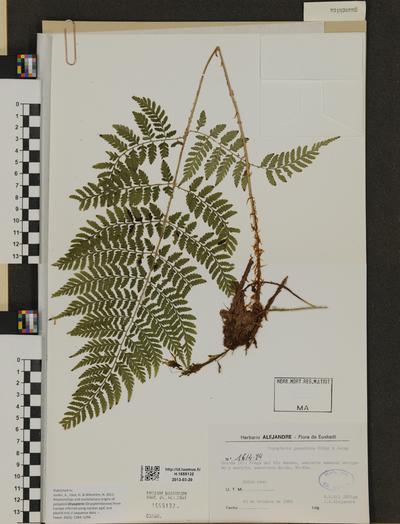 Dryopteris guanchica