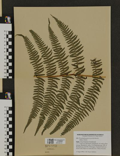 Pseudophegopteris pyrrhorhachis ssp. distans