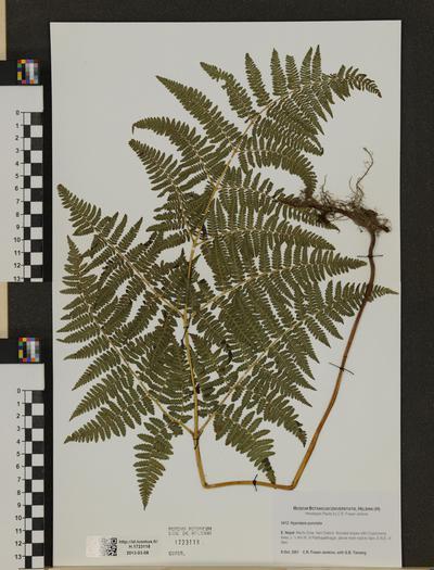 Hypolepis punctata