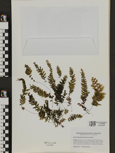 Hymenophyllum exsertum