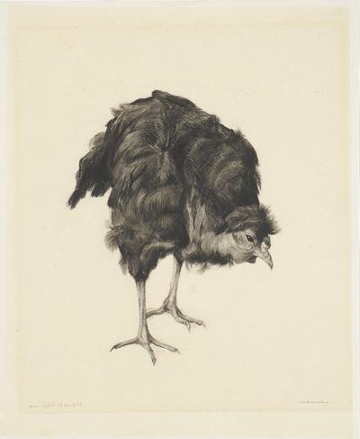Een tekening van een zieke kip, circa 1937.
