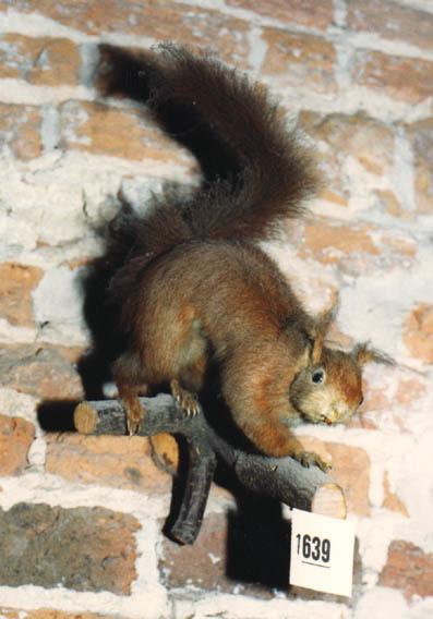 Opgezette eekhoorn op een stokje.