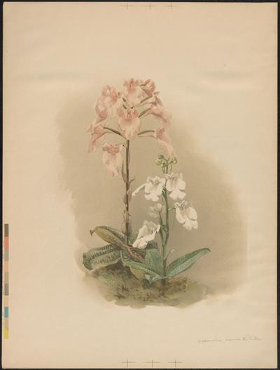 [Reichenbachia] : [orchids illustrated and described].