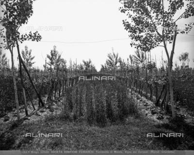 The Carpani vineyard in the rural center of Mesola, Ferrara hinterland.