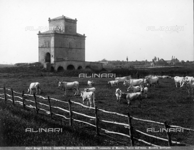 Herd at pasture with, on the right, outside the fence, the tower dell'Abba