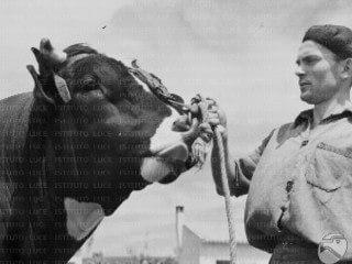 Worker of an agricultural firm (maybe the Reclamation Consortium of Basso Sulcis) poses with a bull