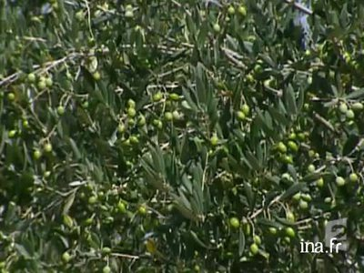 The rise of olive oil