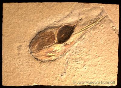 Jurazeitlicher Tintenfisch
