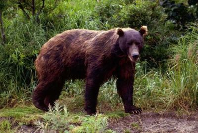 Den lure bjørnen