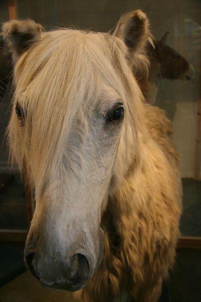 På Bergen Museum står en hest