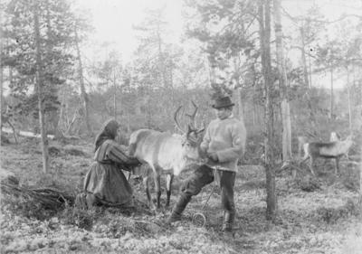 Melking av rein i skogen ved Mutkavarre, Pasvik 1892.