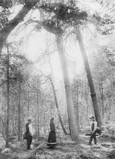 Gammel furuskog ved Vaggetem i Øvre Pasvik juli 1897