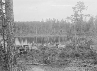 Gressende rein ved et skogstjern på Mutkavarre (Eidfjell), Pasvikdalen