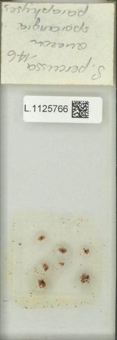 Goniophlebium percussum (Cav.) Wagner & Grether