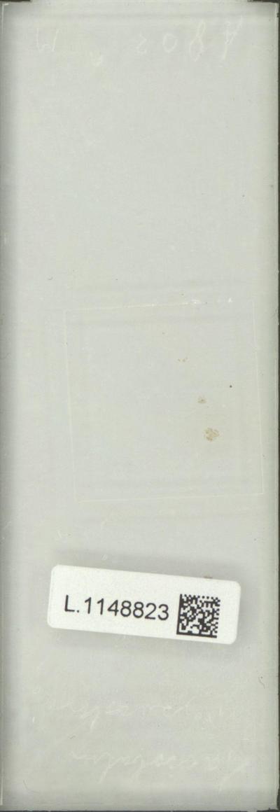 Saccobolus