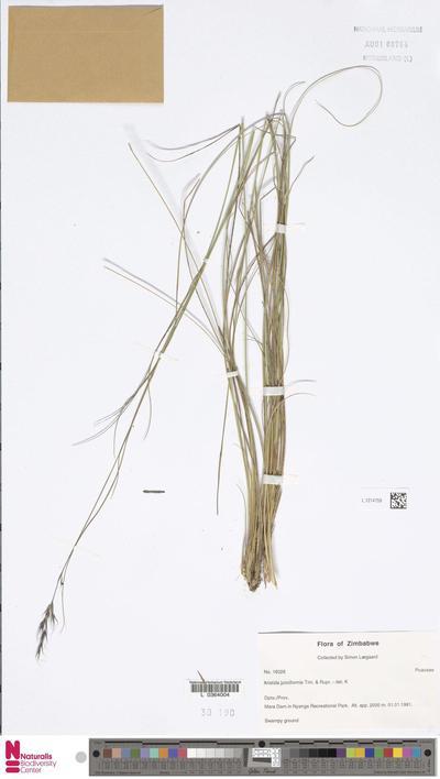 Aristida junciformis Trin. & Rupr.