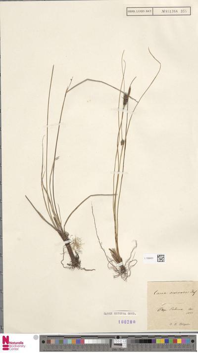 Carex extensa Gooden.