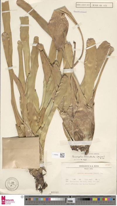 Neoregelia chlorosticta (E.Morren) L.B.Sm.