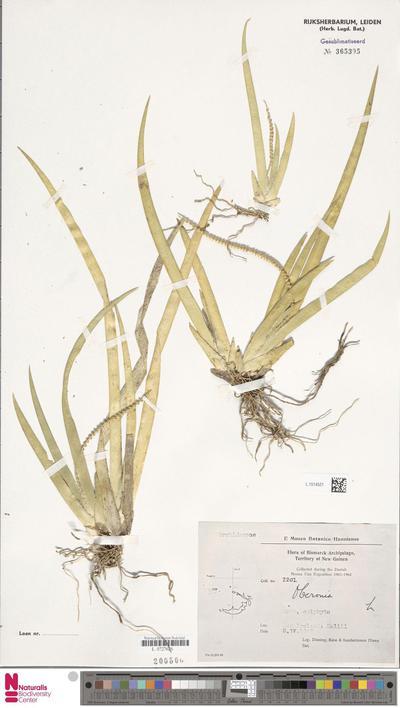 Oberonia  Lindl.