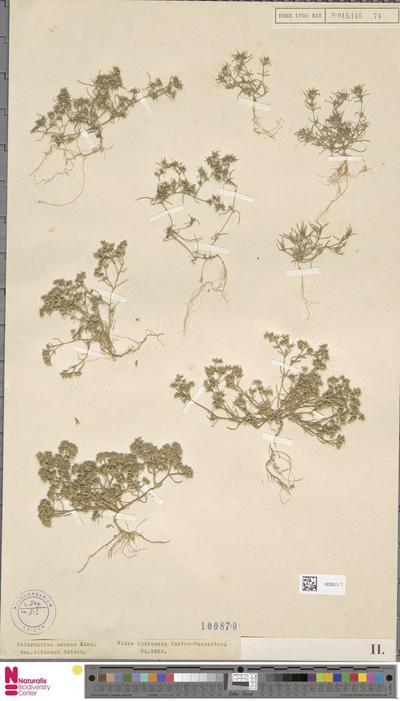 Scleranthus annuus L. var. hibernus Rchb.
