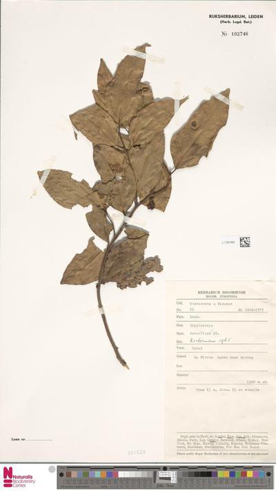 Cryptocarya densiflora Blume