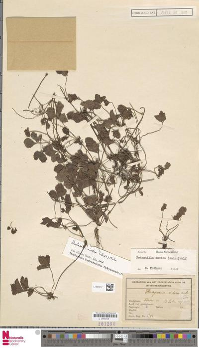 Potentilla indica (Andrews) Th.Wolf