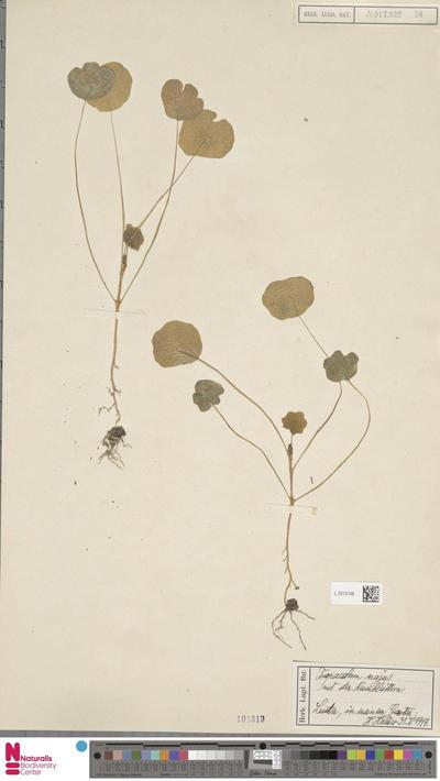 Tropaeolum majus L.