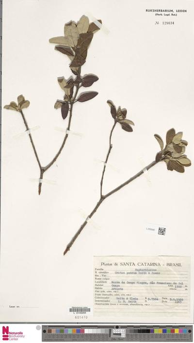 Croton patrus L.B.Sm. & Downs