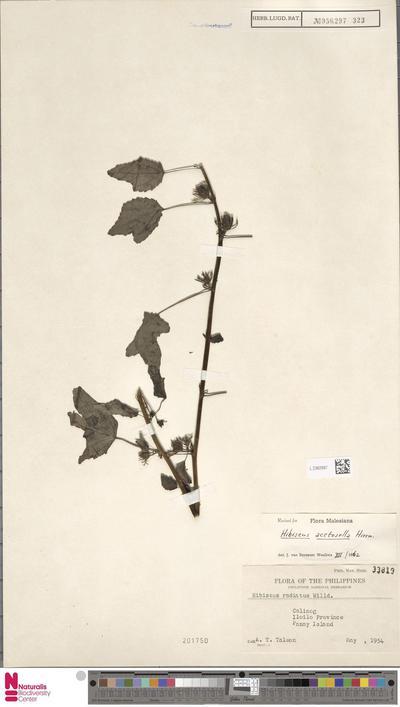 Hibiscus acetosella Welw. ex Hiern