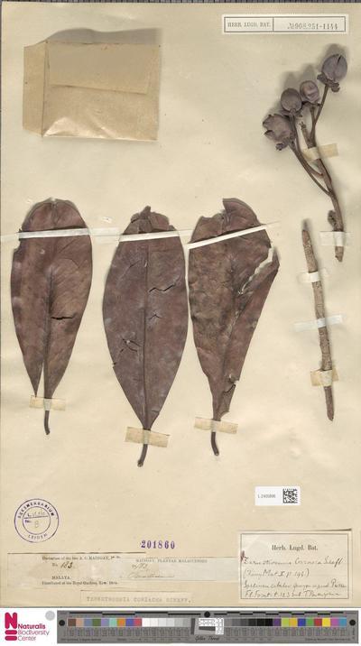Ternstroemia coriacea Scheff.