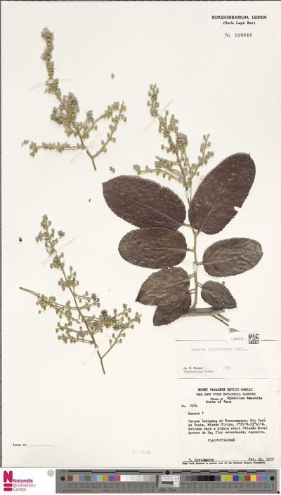 Banara guianensis Aubl.